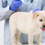 تطعيمات الكلاب Vaccination Program