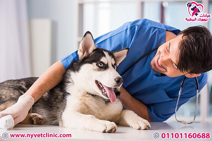 علاج اذن الكلاب